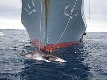 One of the photos released by Australia in 2008, this one of the Yūshin Maru with a harpooned minke whale.
