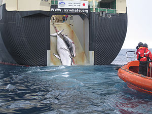 """A whale and a calf being loaded aboard a factory ship, the Nisshin Maru. The sign above the slipway reads, """"Legal research under the ICRW"""". Australia released this photo to challenge that claim."""