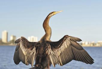 Swan River's Australian Darter