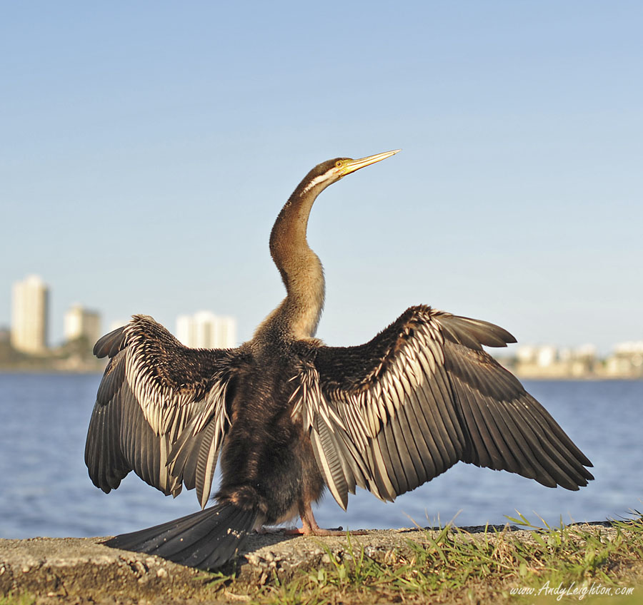 An Australian Darter on the bank of Perth's Swan River spreads its wings to dry in the sun.