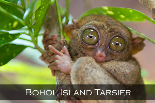 The Philippine tarsier's eyes are fixed in its skull, they cannot turn in their sockets, and a special adaptation in the neck allows its head to be rotated 180 degrees. The eyes are disproportionately large, having the largest eye-to-body size ratio of any mammal. Bohol Island, Philippines