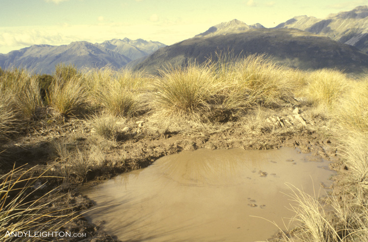 During the few weeks of the March/April rutting season, Red Deer stags use these wallow holes to cool off and spread their scent around, this wallow hole is high up on the open mountain tops, most are down in the bush in defined areas that the stag marks out as his territory. Trent River Valley, Westland, New Zealand