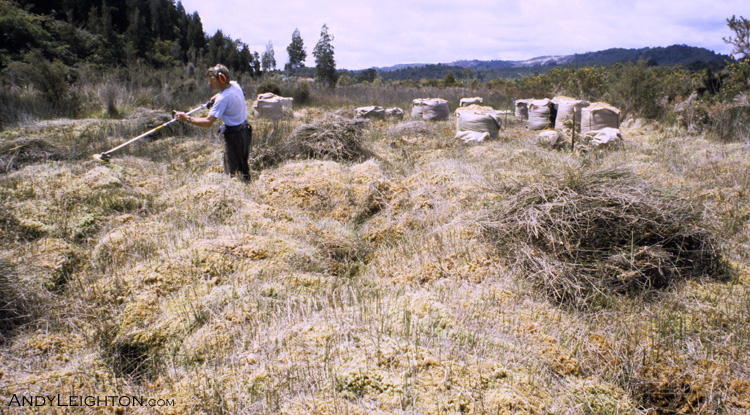 The sphagnum moss grows in clumps only on swampy ground. The covering vegetation is removed and then the moss is picked with a fork or by hand into wool bales. Marsden, Westland, New Zealand. Andy Leighton