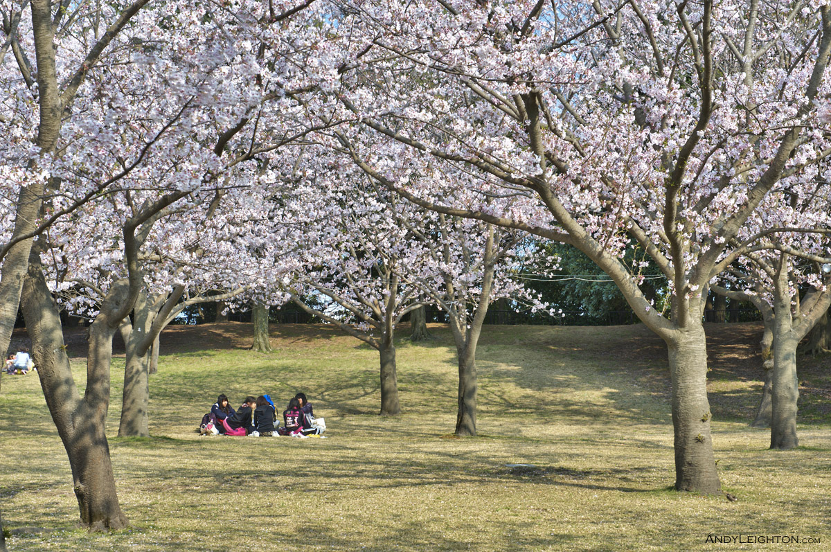 HDR Cherry Blossoms – A group of young Japanese enjoy the shade under the Cherry Blossoms in Yoshino Park. Kagoshima, Kyushu, Japan